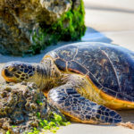 "Laniakea Beach aka ""Turtle Beach"""